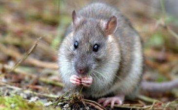 hình minh họa Loại thuốc diệt chuột thế hệ mới tốt nhất
